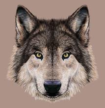 Illustration Portrait Of A Wolf. Dark Grey Fur Colour.