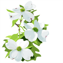 Dogwood (Cornus Florida) Hand Drawn Vector Illustration Of Dogwood Flowers  On White Background.