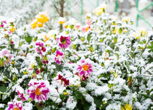 First Snow On The Flowers