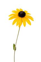 Yellow Flower. Flower Of Rudbe...