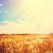 Golden Field and Sunlight on Blue Sky