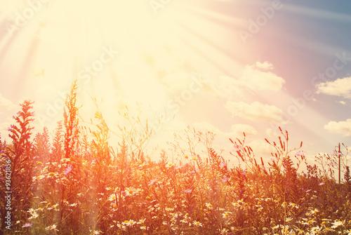 Fototapeta Wildflowers Field and Blue Sky with Rays obraz na płótnie