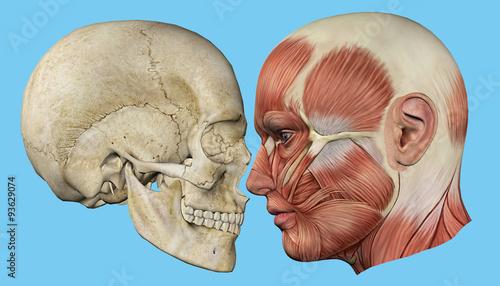 Fotografie, Tablou  Skull and Muscles Profile: Featuring mandible, occipital bone, coronal suture, maxilla and zygomatic bone, temporalis muscle, masseter muscle, orbicularis oculi muscle and zygomaticus major muscle