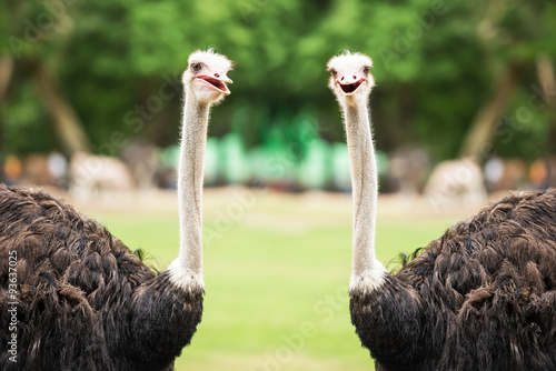La pose en embrasure Autruche Couple ostrich