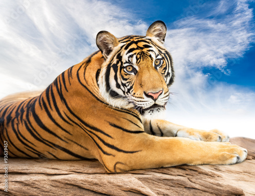 In de dag Tijger Siberian tiger