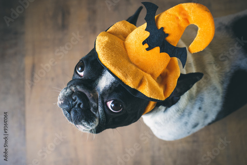 Photo  Portrait of French bulldog with hat halloween