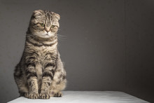 Pregnant Thick Gray Striped Scottish Fold Cat Sitting On A Table And Looking To The Side