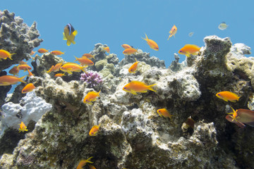 coral reef with  exotic fishes anthias in tropical sea, underwat