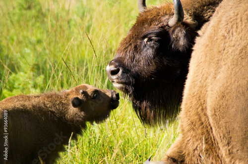 Valokuva  Mom bison with cub.