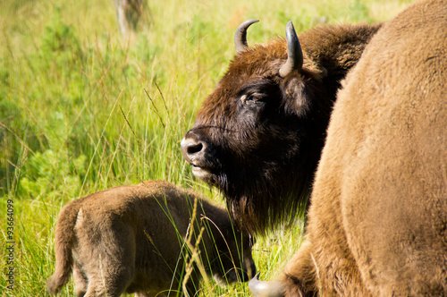 Fotografie, Obraz  Mom bison with cub.