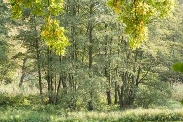 Obraz na PlexiÄste mit leuchtendem Laub vor einer Baumgruppe im Wald