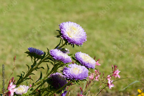 Photo Purple, white and yellow Aster (asteraceae) flowers