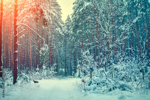 zimowy-las-pokryty-sniegiem