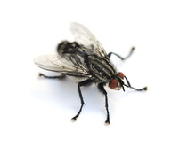 Common Housefly Musca Domestic...