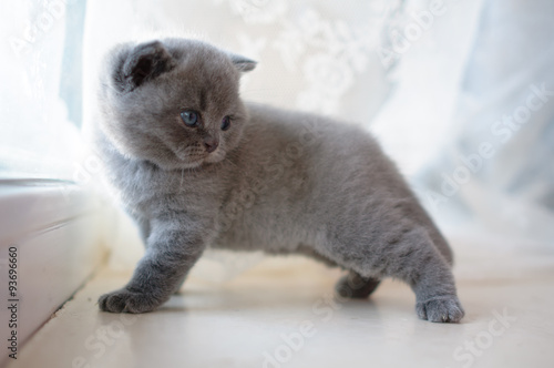 Beautiful Kitty Kitty Model British Kitten Cute And Beautiful Baby Kitten Blue Color In Pedigree Cats Pet Good Posture Cat Buy This Stock Photo And Explore Similar Images At Adobe Stock
