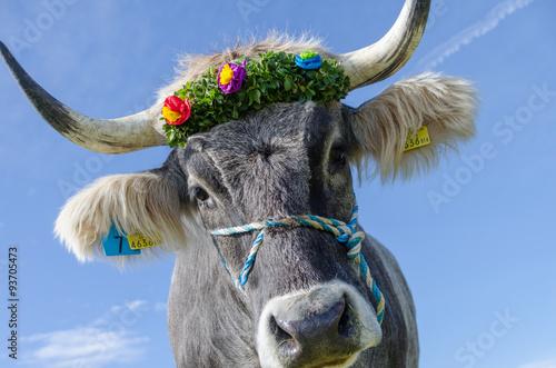 Photo  Kuh beim Almabtrieb