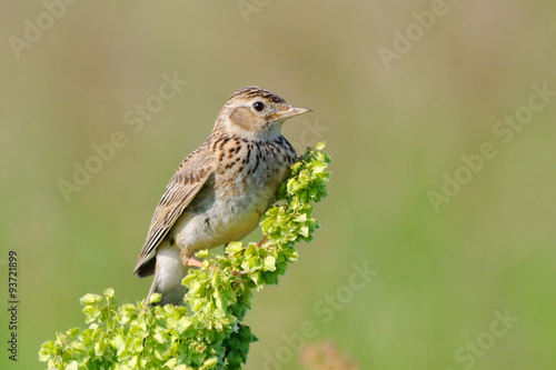 Perching Eurasian Skylark Canvas-taulu