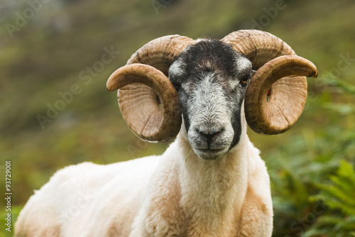 Fotografija  Blackface Sheep, Skye, Scotland