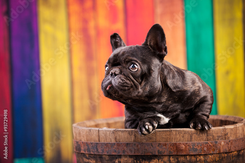 Deurstickers Franse bulldog french bulldog