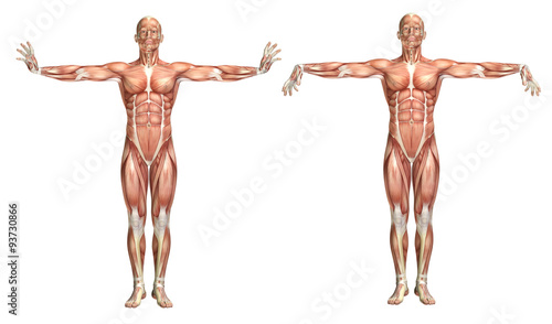 3D medical figure showing wrist extension and flexion Fotobehang