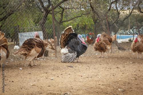 Fotografie, Obraz  Pavo de corral. Pavo en la granja. Pavos para acción de gracias.