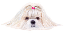Shih Tzu Dog Portrait In Brigh...