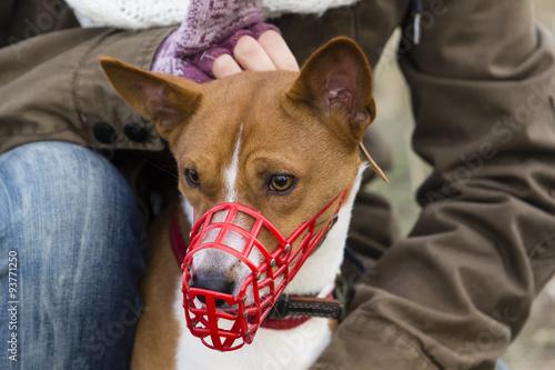 Leinwand Poster  Basenji-Hund in einer Mündung zum Coursing
