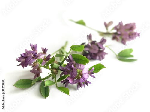 Photo Alfalfa (Medicago sativa)