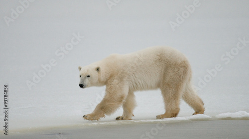 Poster Polar bear A polar bear on the tundra. Snow. Canada. An excellent illustration.