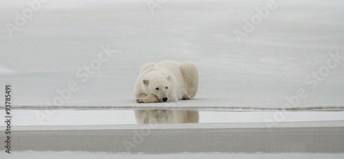 In de dag Ijsbeer Polar bear lying in snow in the tundra. Canada. Churchill National Park. An excellent illustration.