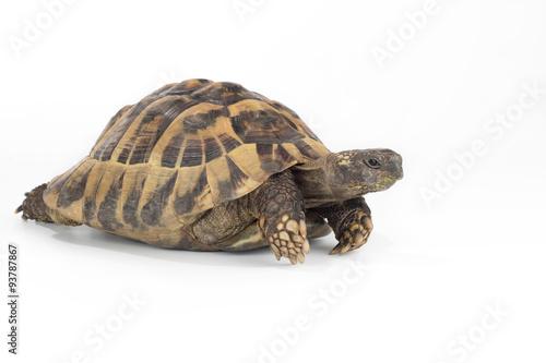 Poster Tortue greek land tortoise, Testudo Hermanni