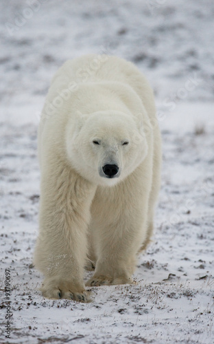 Papiers peints Ours Blanc A polar bear on the tundra. Snow. Canada. An excellent illustration.