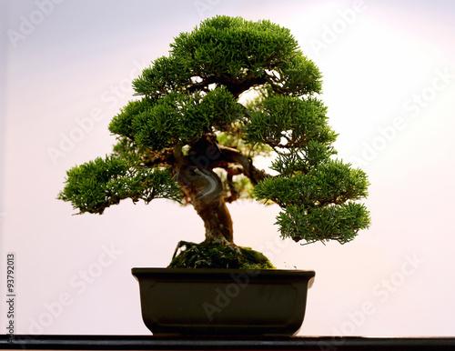 Fotobehang Bonsai Artistic potted bonsai tree in flower pot