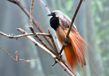 Greater Bird-of-paradise Male ...