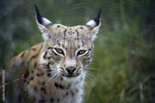 Lynx #93813264