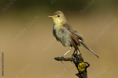 Fotografie, Obraz  Melodious warbler (Hippolais polyglotta), perched on a branch