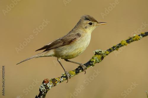 Foto Melodious warbler (Hippolais polyglotta), perched on a branch