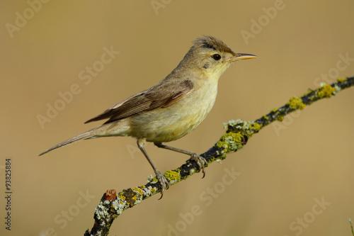 Fotografía Melodious warbler (Hippolais polyglotta), perched on a branch