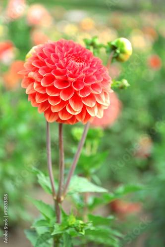 Poster de jardin Dahlia Beautiful chrysanthemum flower, close-up, outdoors