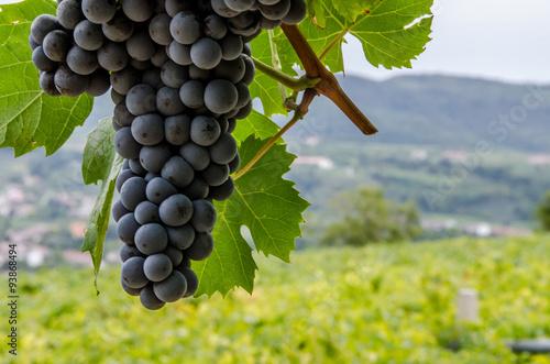 Fotografia  Vigneti e grappoli di uva rossa nelle colline di toscana e veneto