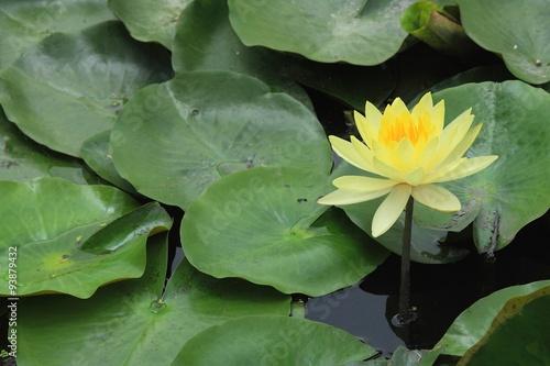 Foto  This beautiful waterlily or lotus flower