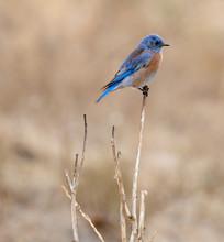 Western Bluebird (Sialia Mexicana) Perching On A Shrub. Alameda County, California, USA.