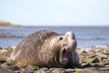 Male Southern Elephant Seal (M...