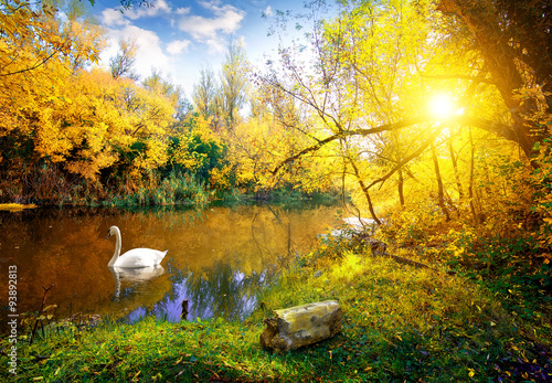Photo sur Toile Cygne White swan on lake