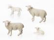 Schafe auf weissem Hintergrund