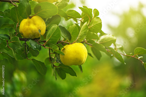 Tableau sur Toile Quince on the branch in fruit orchard