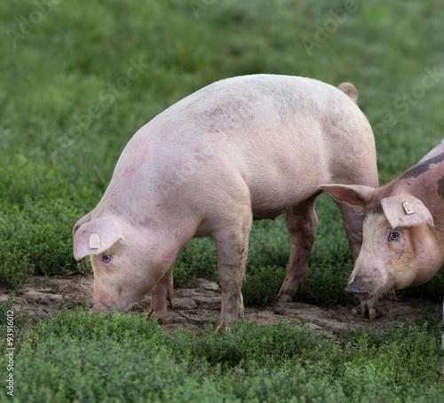 Cadres-photo bureau Olive Pigs walking on farmland