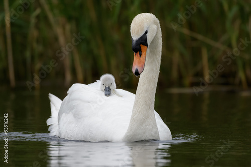 Cadres-photo bureau Cygne Mute Swan with cygnet
