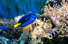 Tropical Blue Fish And Clownfish