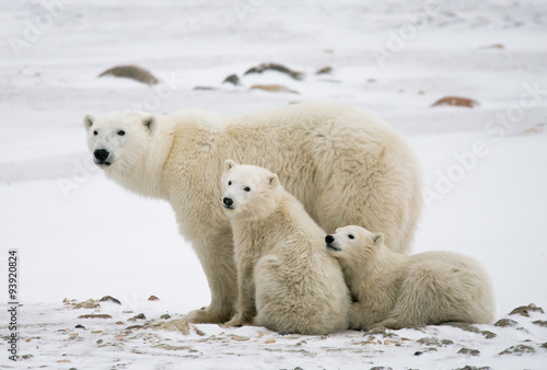 Foto op Aluminium Ijsbeer Polar bear with a cubs in the tundra. Canada. An excellent illustration.